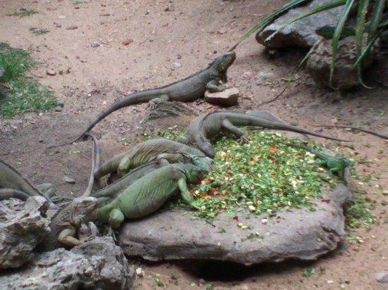 Tuxtla Gutierrez, المكسيك: iguanas