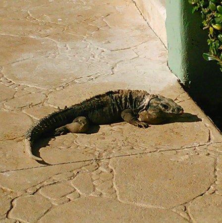 Hard Rock Hotel Riviera Maya : Iguana guest
