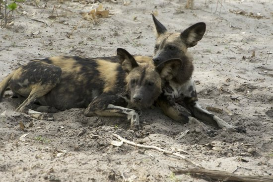 Lagoon Camp - Kwando Safaris: Wild dogs of Africa