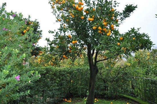 Villa Flavia : апельсиновое дерево в саду