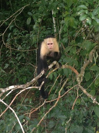 Monkey Lodge Panama: Cappucin Monkey