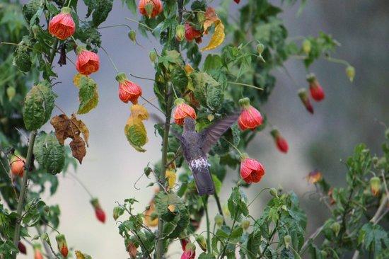 La Capilla Lodge: giant hummingbird feeding on beautiful flowers in gardens