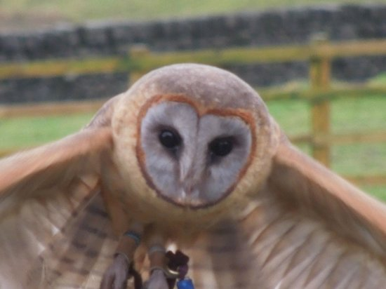SMJ Falconry: an owl flying to my hand