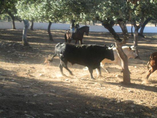 Reservatauro Ronda: Young bulls in training