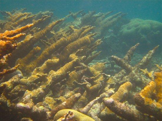 Mayan Beach Garden : Elkhorn coral at the MBG