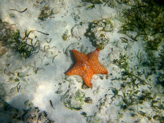 Mayan Beach Garden: Starfish snorkeling at the MBG