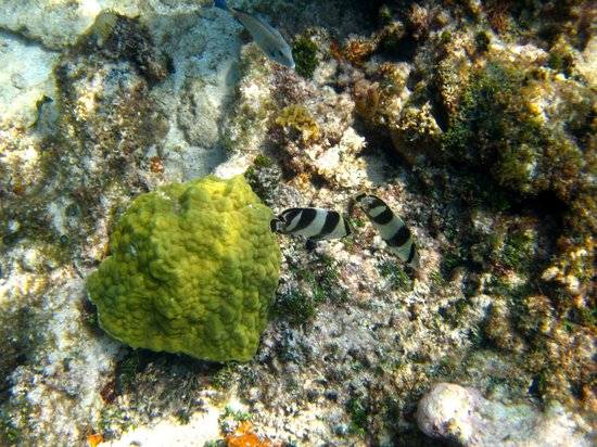 Mayan Beach Garden: Zebra fish snorkeling at the MBG