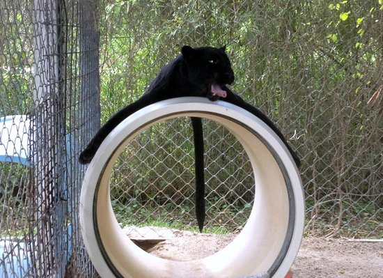 Octagon Wildlife Sanctuary And Rehabilitation Center: Lilly The Black Leopard
