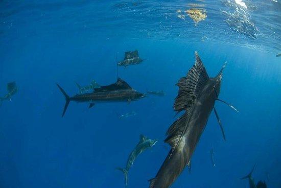 Rebatetours -  Tours : Sailfish Snorkeling