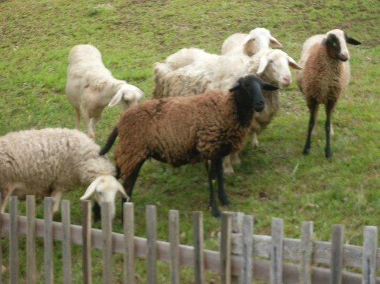 Hotel Fazenda Oberland : As ovelhas passeiam soltas.