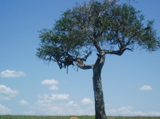 Governors' Il Moran Camp: Leopard with kill in tree