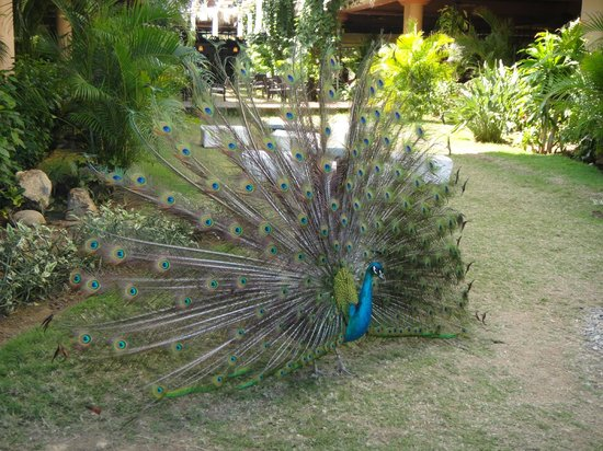 Sirenis Punta Cana Resort Casino & Aquagames: sirenis peacock