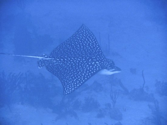 Victoria House Resort & Spa : Turneffe - Spotted Eagle Ray