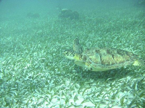 Victoria House Resort & Spa: Hol Chan Sea Turtle