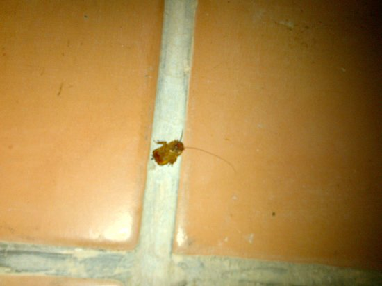 The Lodge at Uxmal: Cockroach on the floor of the sleeping loft!