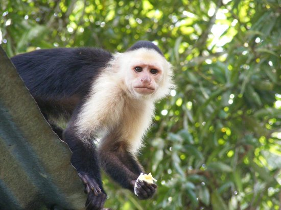Cabinas Riverside: Monkeys on the roof top