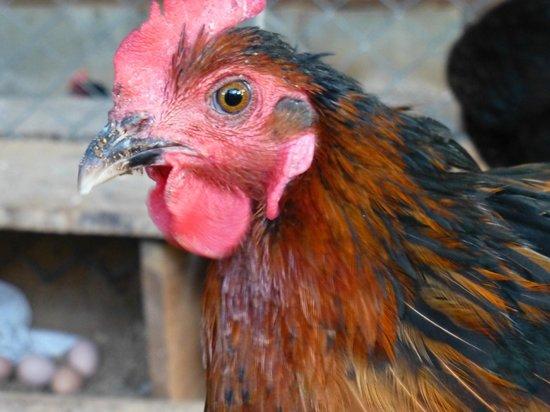 Hotel Cerro Lodge: Chicken with farm fresh eggs