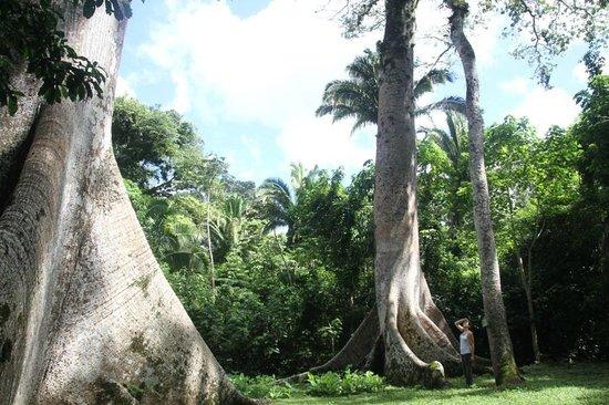 Gaia Riverlodge: giant cieba trees - tour gaia