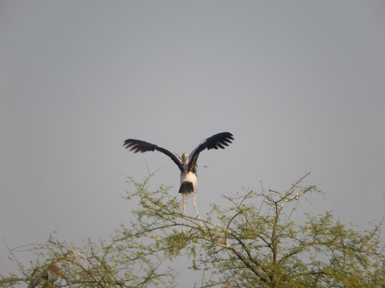 Keoladeo National Park : Ready to take off