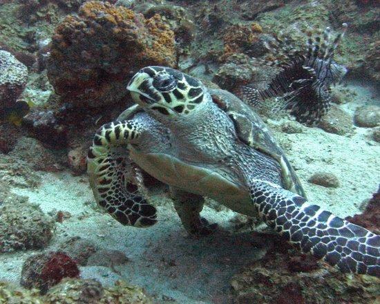 ALDive & W.A.T.E.R Sports : Green Sea Turtle