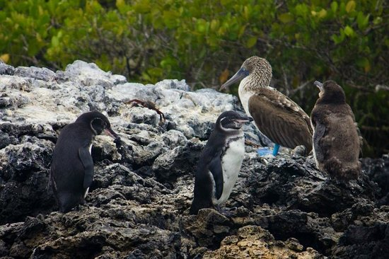 Las Tintoreras : adult penguins and a booby