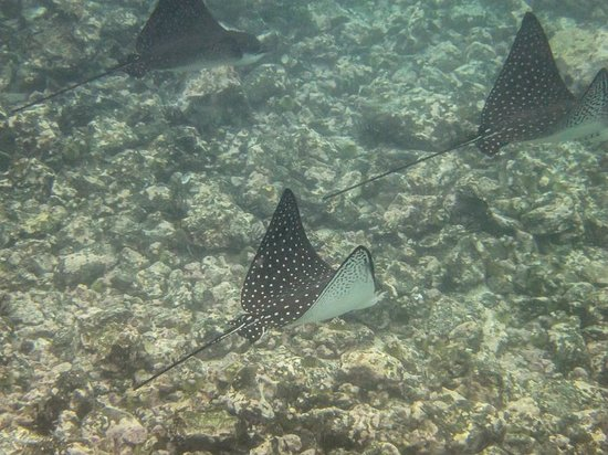 Las Tintoreras : spotted eagle rays