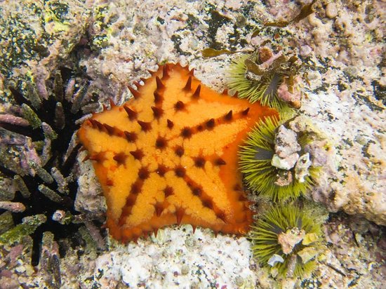 Las Tintoreras : chocolate chip starfish and sea urchins