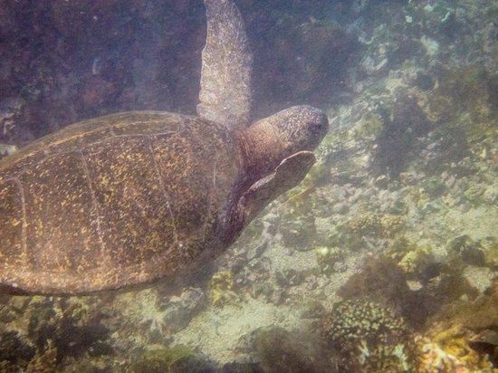 Concha de Perla: sea turtle