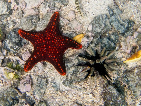 Concha de Perla: panamic cushion sea star