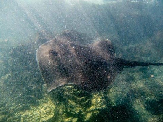 Concha de Perla : humongous ray