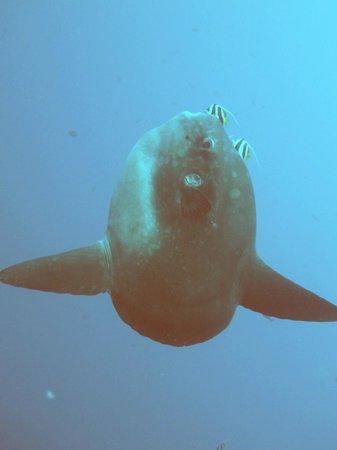 World Diving Lembongan : Mola Mola