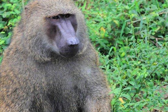 Arignar Anna Zoological Park : Baboon Monkey