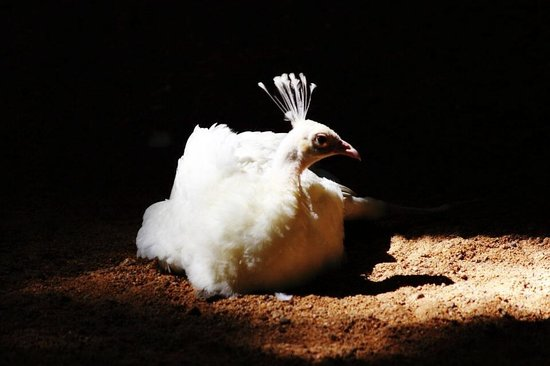Arignar Anna Zoological Park : White Peafowl