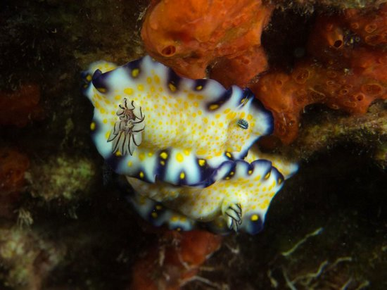 Extended Horizons : imperial nudibranch, mala pier
