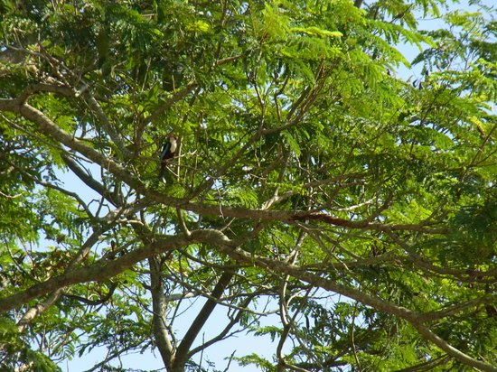 Kepala Batas, Malasia: Kingfisher on tree near tee-off box