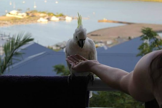 Peppers Airlie Beach: Daily Cockatoo balcony visits