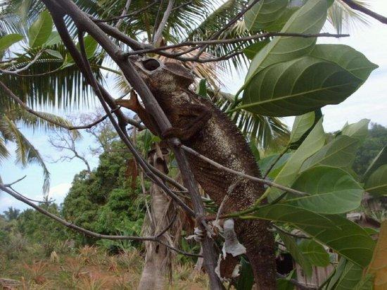 Orangea Village: Un geko molto comune del madagascar