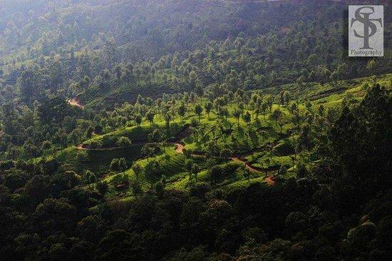 Aruvi Resorts : tea gardens