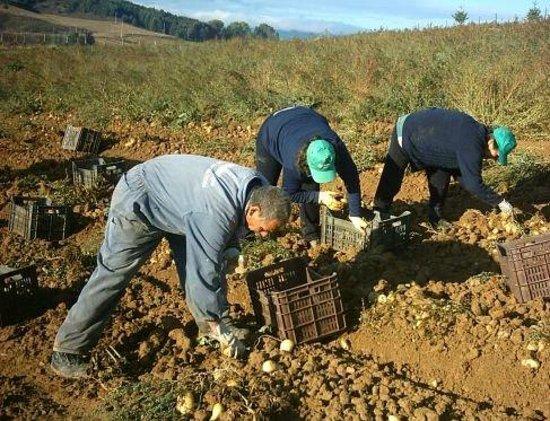Celico, Италия: Raccolta patate