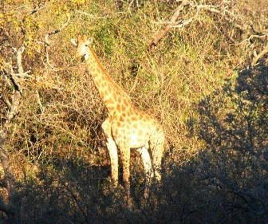 Gwahumbe Game & Spa: Giraffe 15m away