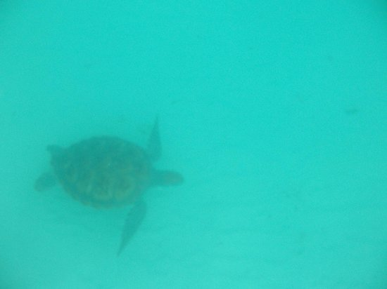 Mango Bay All Inclusive: A turtle on our free trip