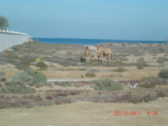 Bin Majid Beach Resort : верблюды