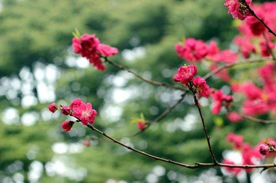 Shinjuku Gyoen National Garden: red cherry blossoms