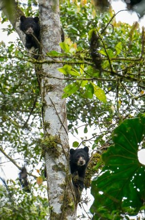 Maquipucuna Cloud Forest Reserve: These cubs learn how to climb for safety and to forage at an early age.