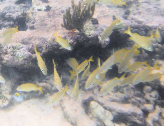 Barcelo Maya Tropical: fish found while snorkeling from the dock