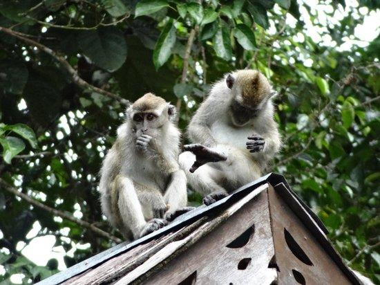Sukau Rainforest Lodge: Makaker som kan väcka en på natten när de leker tafatt på taket
