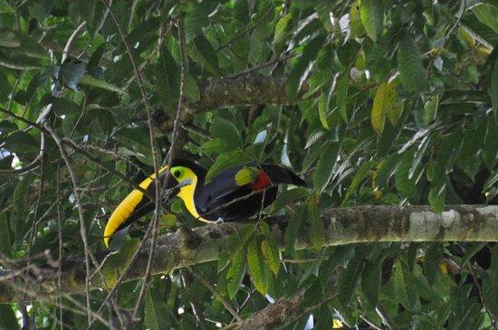 Carara National Park: Le magnifique Toucan