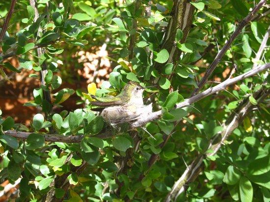 Arizona-Sonora Desert Museum: hummingbird on nest