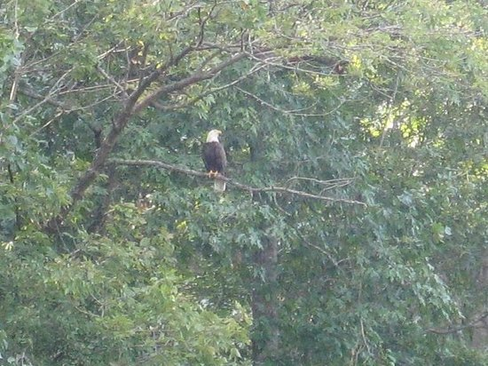 Rapidan River Kayak Company: Rapidan river bald eagle surveying his domain.