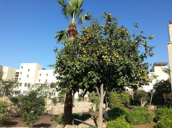 Movenpick Resort & Spa Dead Sea: An orange tree growing in the hotel grounds